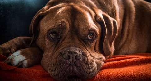 L'artrosi nel cane.